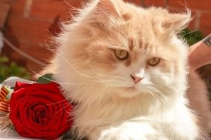 are-roses-toxic-to-cats